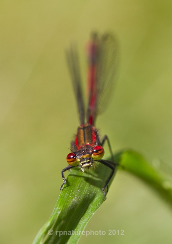 Large Red Damselfly - Pyrrhosoma nymphula RPNP0010 - Insects & Spiders