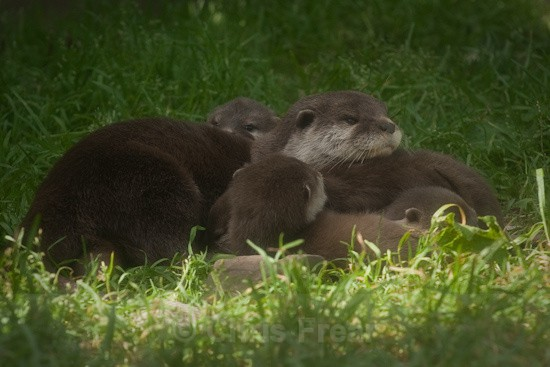 4 - Otters