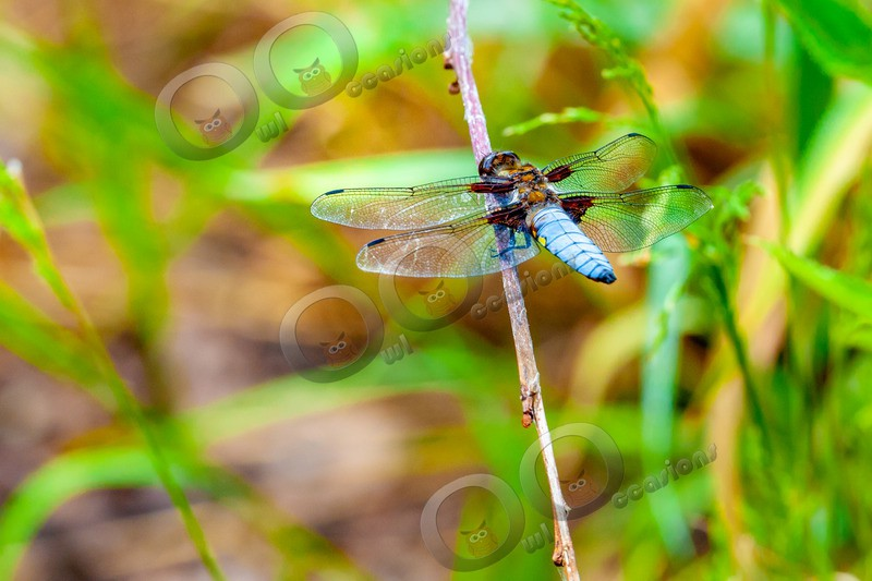 broad bodied Chaser-7070 - Insects from around the world