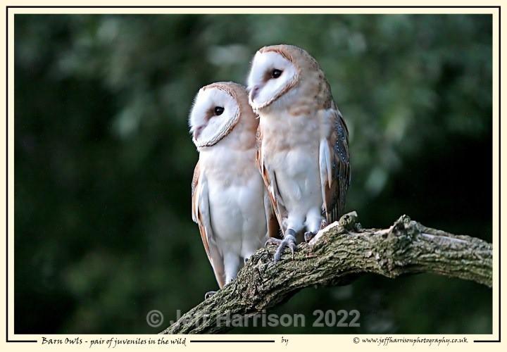 BO 006 - Barn Owls
