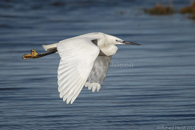 Little Egret (Egretta garzetta) flying - ARPS Panel