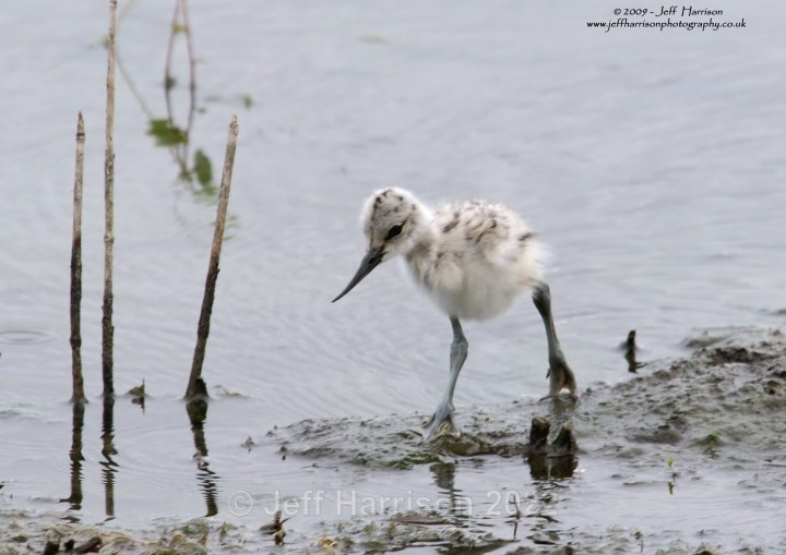 Avocet chick (image Av 04) - Waders, Gulls & Seabirds