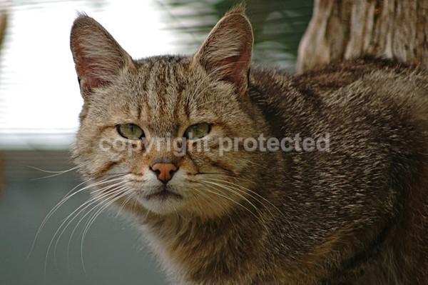 European Wild Cat - Cat Survival Trust - Big and Small Wild Cats
