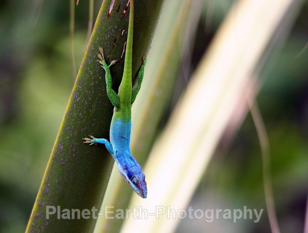 Cuban Lizard 3 - Around The World