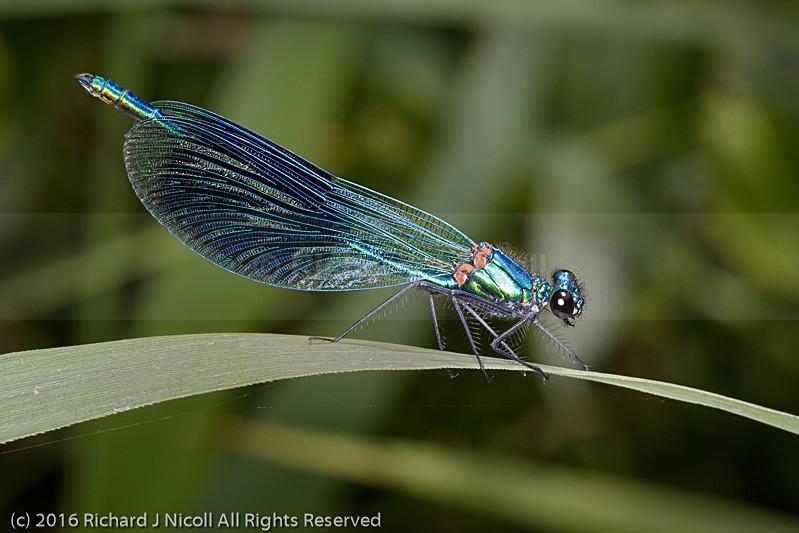 Banded Demoiselle (Calopteryx splendens) male - Banded Demoiselle (Calopteryx splendens)