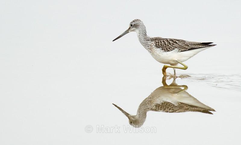 Greenshank - Water birds