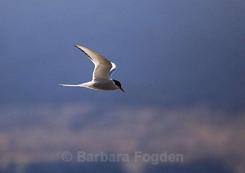 Arctic Tern 0227 - Wildlife