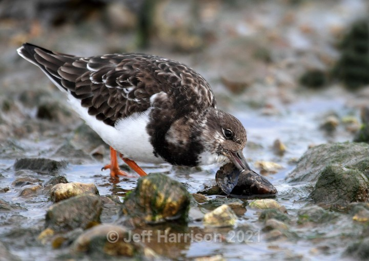 Turnstone eating mussel (image Turn 01) - Waders, Gulls & Seabirds