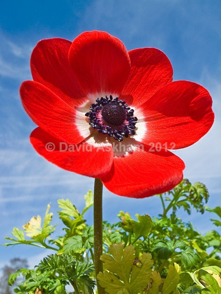Anemone - Gardens & plants