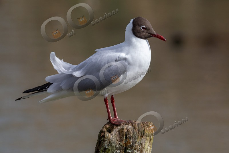 black headed gull Chroicocephalus ridibundus-4973 - UK birds