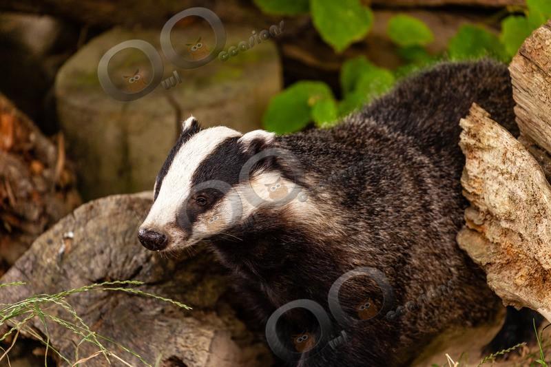badger Meles meles-6080 - UK Wildlife