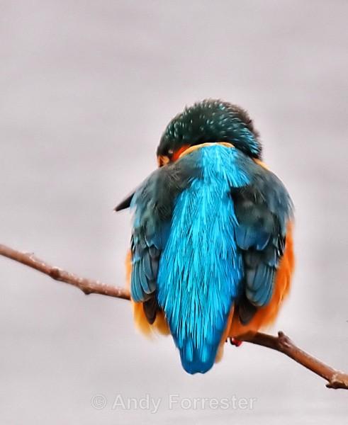 Kingfisher - Birds