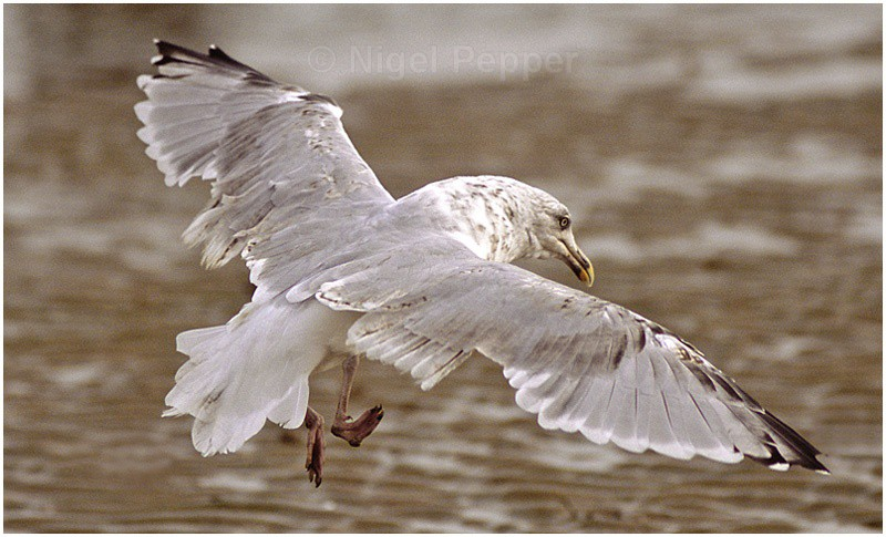 September 14th 2006 - Leggy the Herring Gull