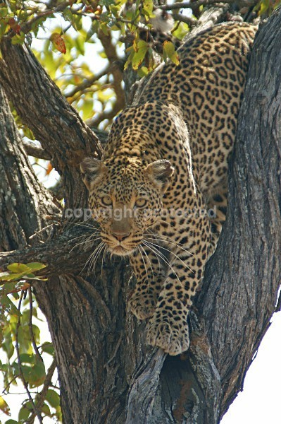 African Leopard, Timbavati, South Africa - African Leopards