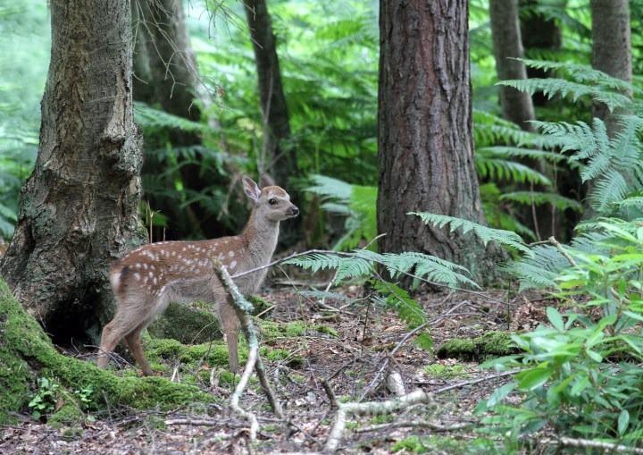 Sika Deer (image Sika D 03) - Mammals