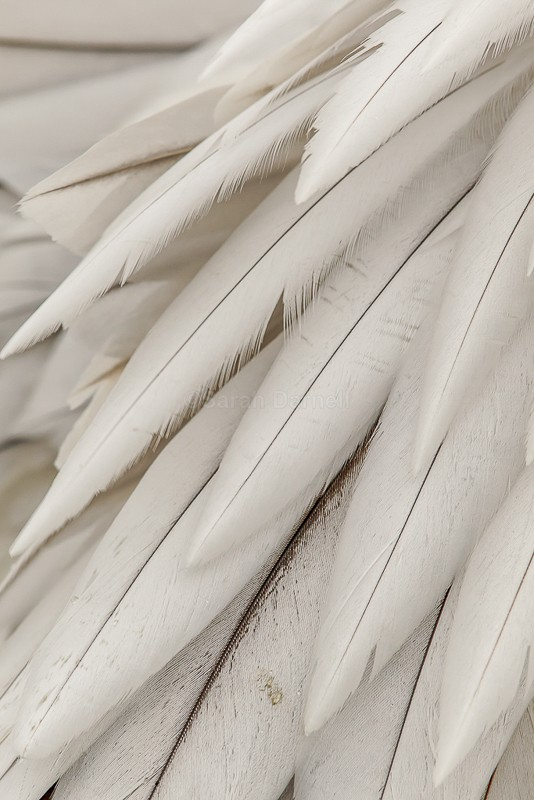 Pelican Plumage - Abstract