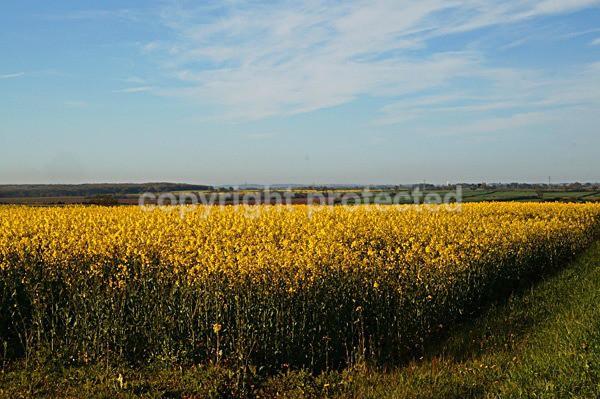 Rapeseed Field (Nottinghmshire) - England