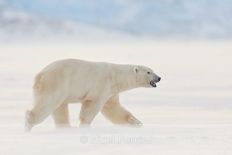 Male Polar Bear side, Svalbard, Norway - Polar Bear