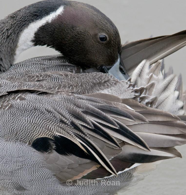 Pintail male - Reifel Refuge