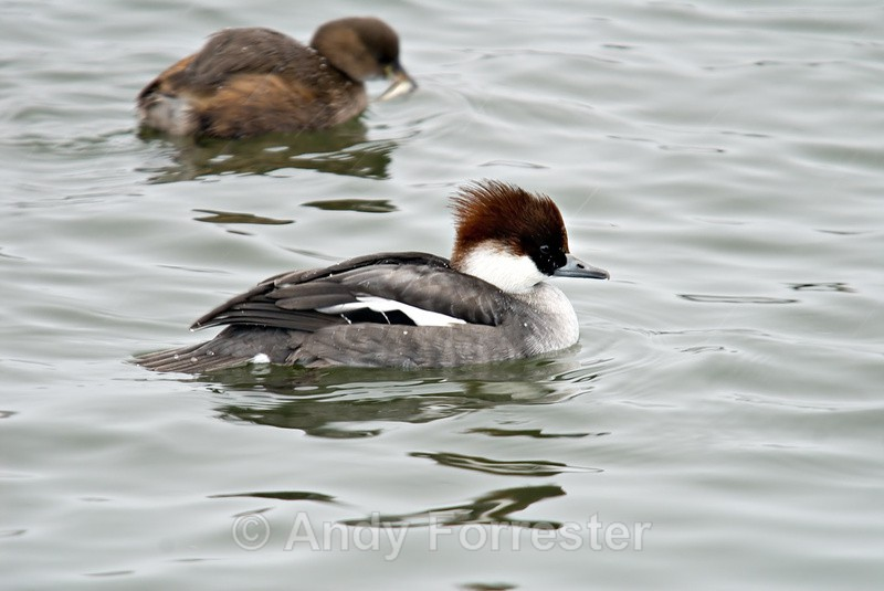 Female Smew - Birds