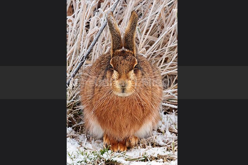 Brown Hare (Lepus europaeus) - Brown Hare (Lepus europaeus)