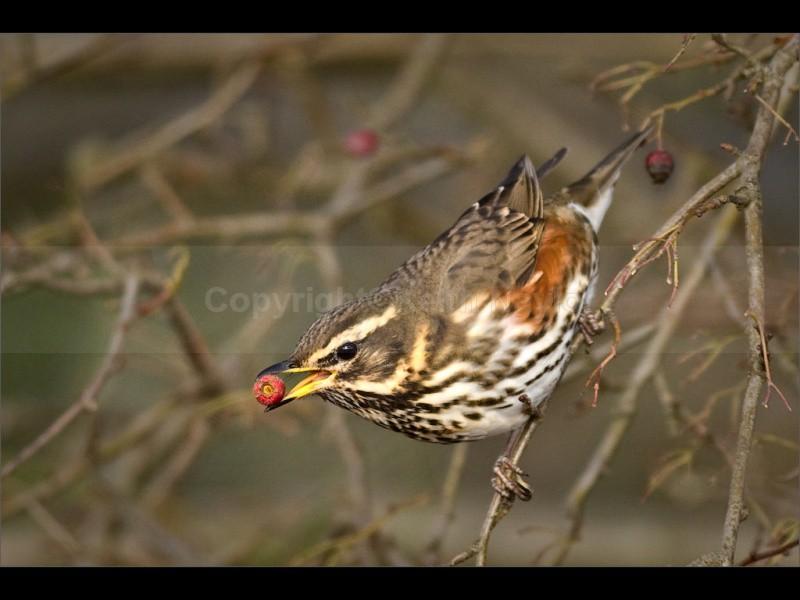 Redwing on Hawthorn - 2010
