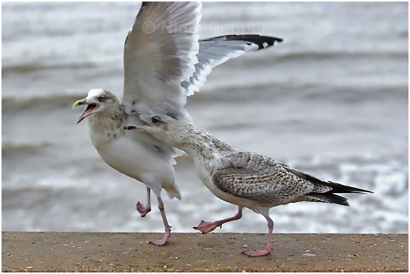 Pecking Order - Leggy the Herring Gull