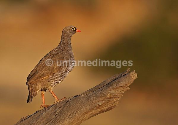 African Frankolin - Botswana