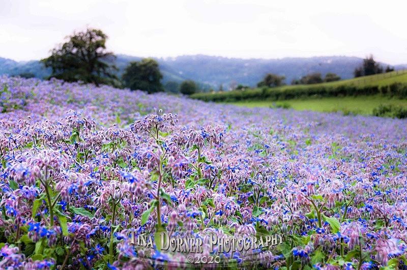 The Borage Field - Plants & Flowers