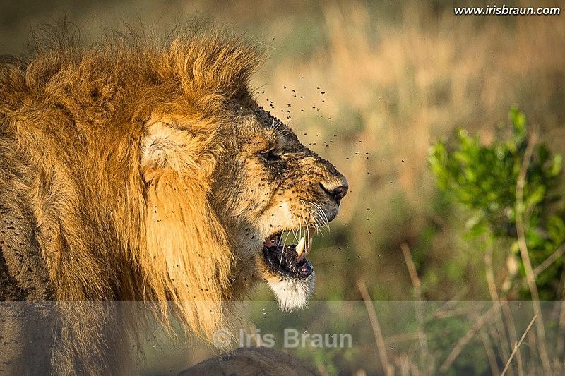 Annoyed - Lion