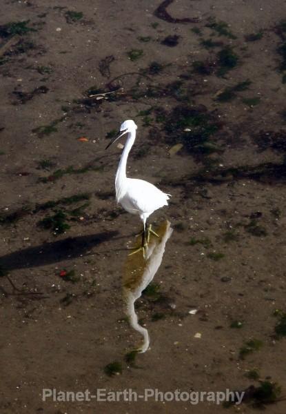 Little Egret - UK Wildlife