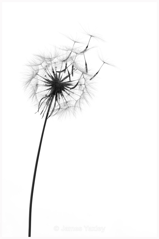 Dandelion Clock - Latest Work