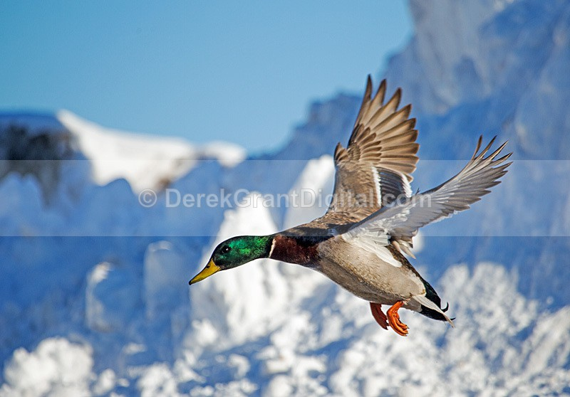 Drake Mallard Landing - Birds of Atlantic Canada