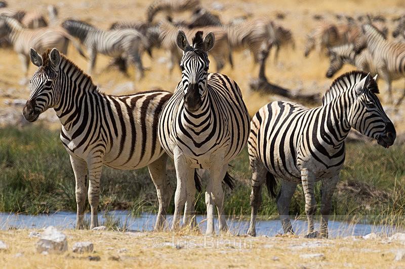 Kaffeekraenzchen - Zebra