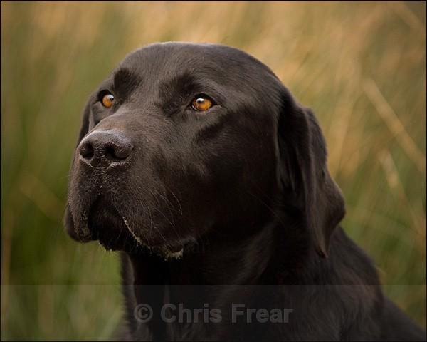 Black Labrador Portrait - Dogs
