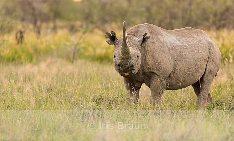 Cool Rhino I - Rhino