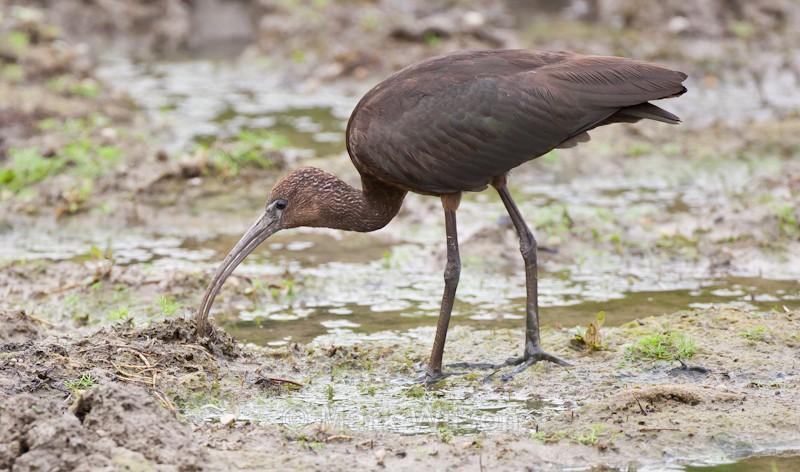 Glossy Ibis - Herons, Egrets & Cranes