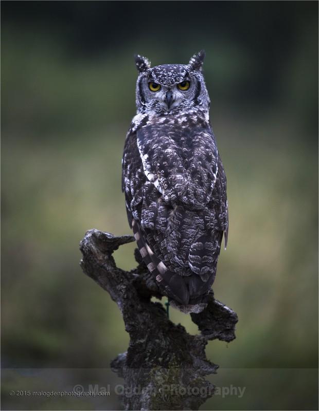 African Eagle Owl - Flora & Fauna
