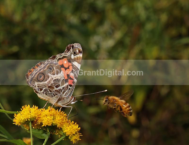 American Lady versus Honey  Bee - Butterflies & Moths of Atlantic Canada