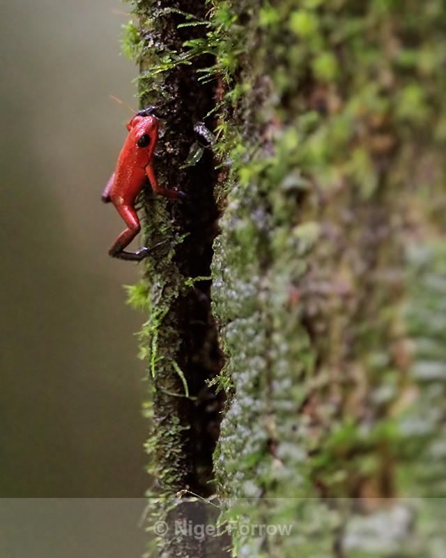 Strawberry Poison Frog climbing tree, Tortuguero, Costa Rica - REPTILES & AMPHIBIANS