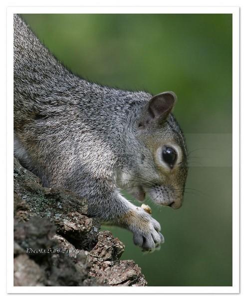 Park Life Common Grey - Wildlife Wildlife