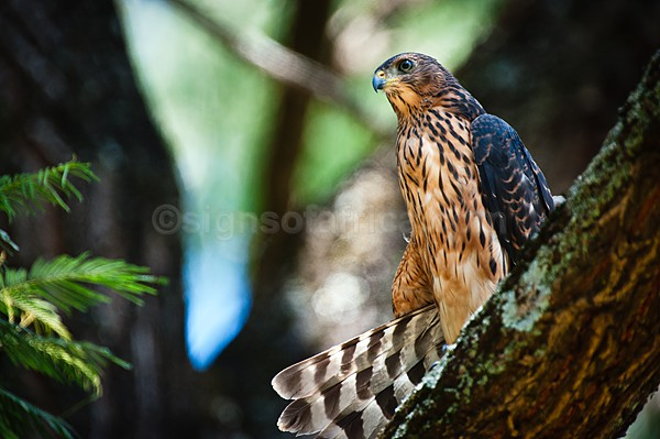Great Sparrowhawk, Nairobi Kenya