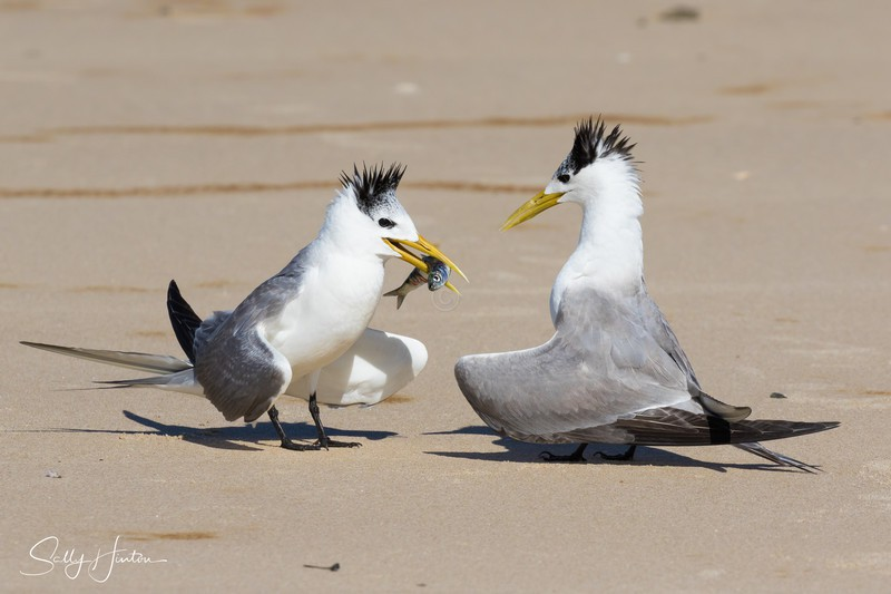 Courting 2 - Crested Terns 2018 (For Sale)