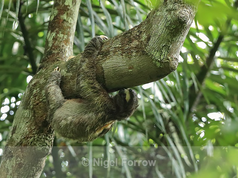 Brown-throated Three-Toed Sloth, Pipeline Road, Panama - Sloth