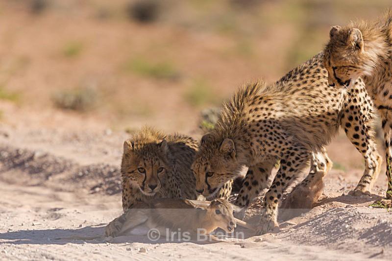 First Kill II - Cheetah