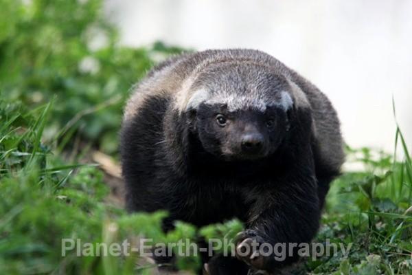 Honey Badger 1 - Around The World