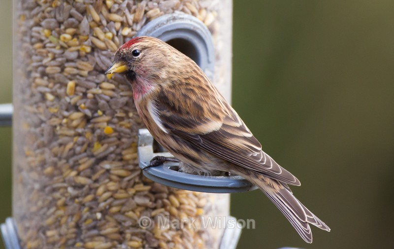 Redpoll - On the feeders