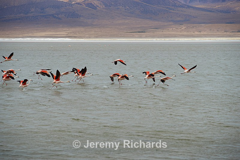 Chilean Flamingos in Flight - Wildlife of Chile