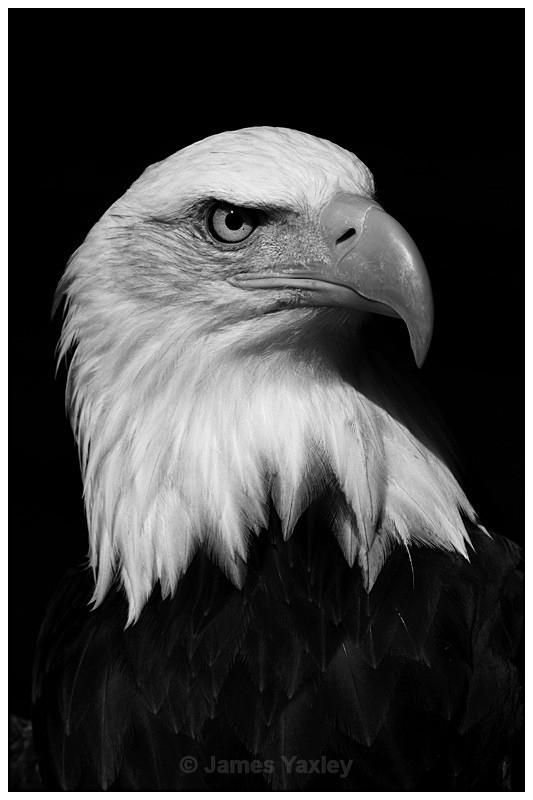 Bald Eagle 1 Monochrome - Nature in Black & White