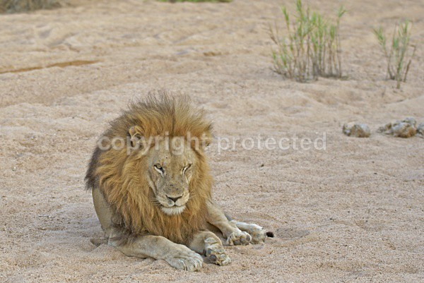 Male lion in riverbed (Timbavati, South Africa) - African Lions